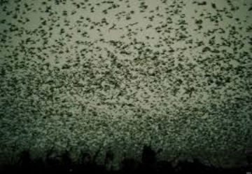 plague of locusts