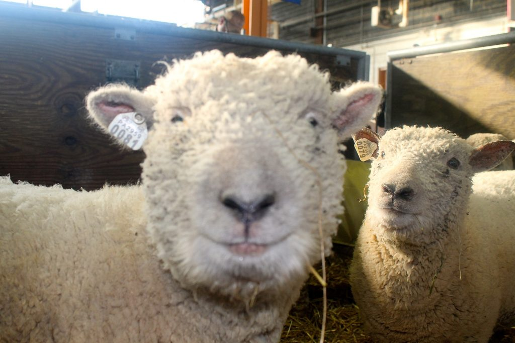 Dolly the sheep in happier days
