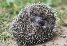 hedgehog ball