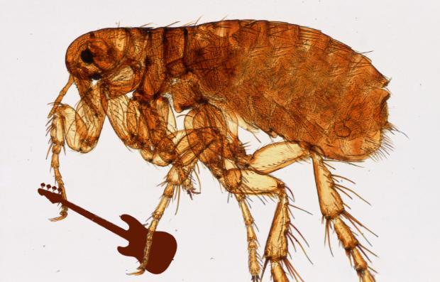 Flea Aphaniptera bass