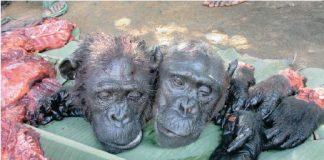bushmeat africa ebola