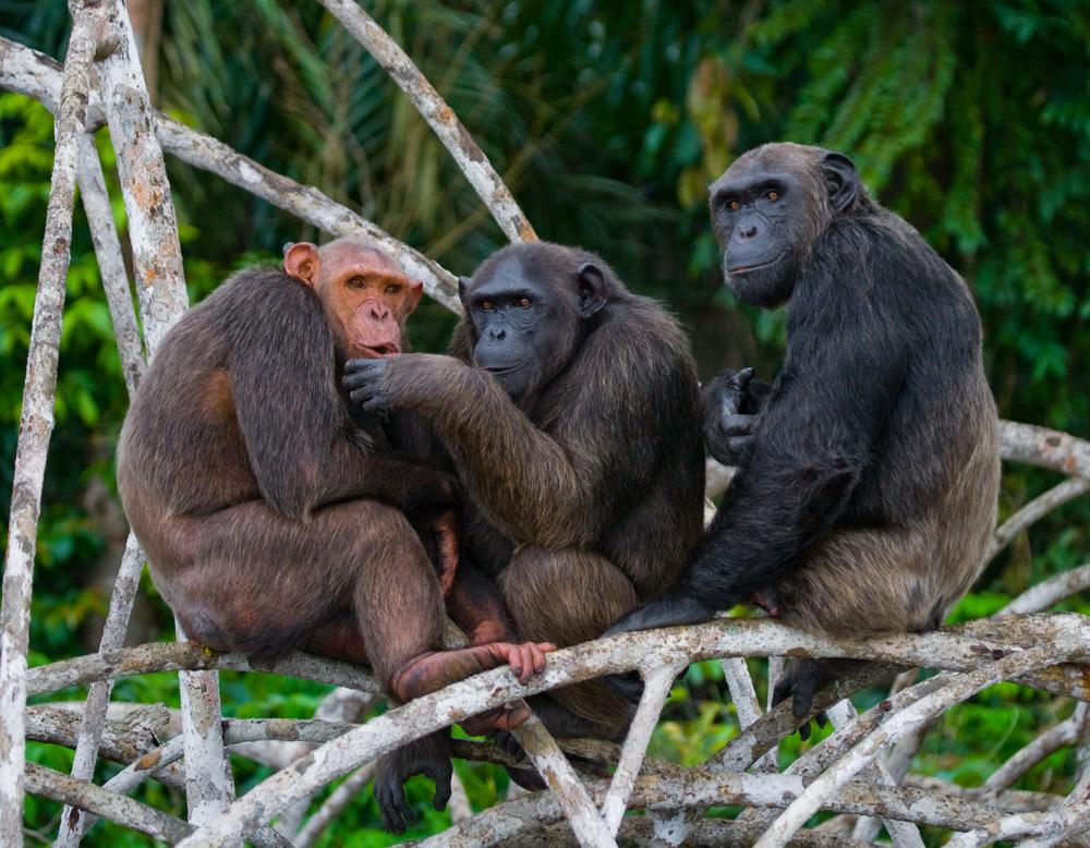 metoo chimpanzees