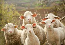 Sheep and lambs new zealand