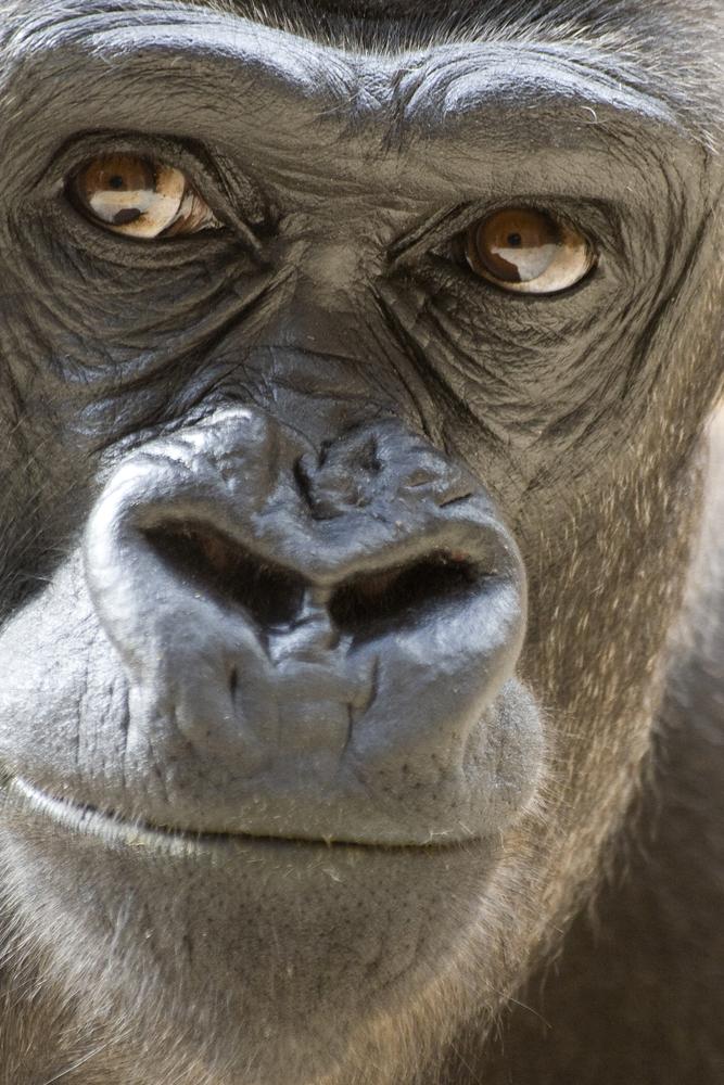 monkey ape portrait