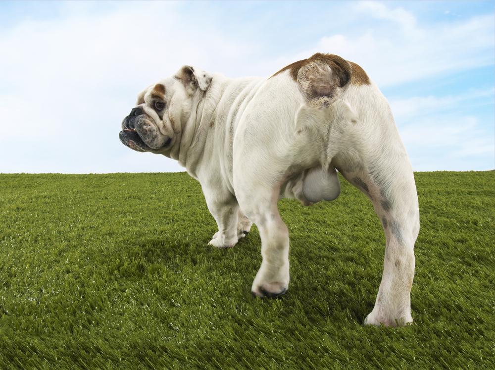 bulldog testicles
