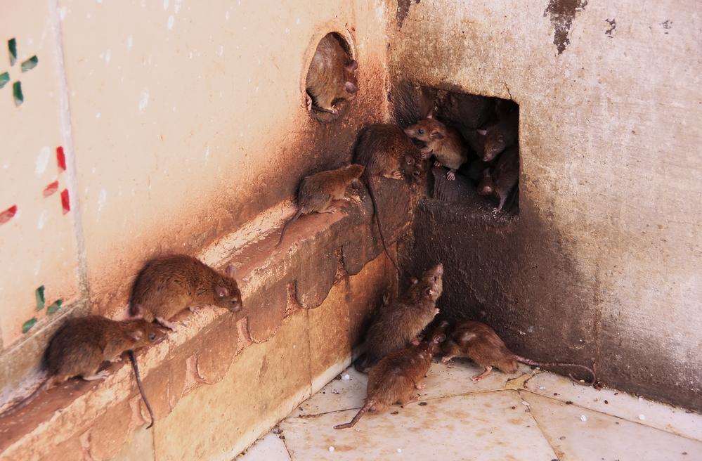 chinese restaurant rats hantavirus