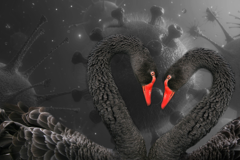 Black swans coronavirus