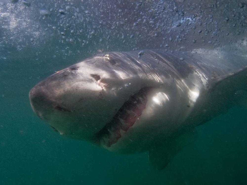Great white shark Instagram influencer